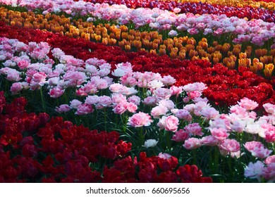 Field with different colored tulips