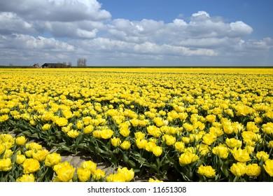 Field of double flower yellow tulips