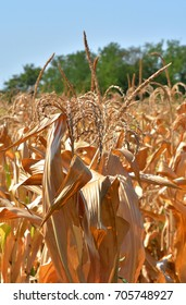 Field of dried corn from the sun