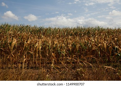 field of dried out corn plants with yellow leaves in Northern Germany while summer 2018 with extreme high temperatures and lack of rain since several months