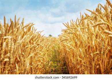 Field of dry golden wheat