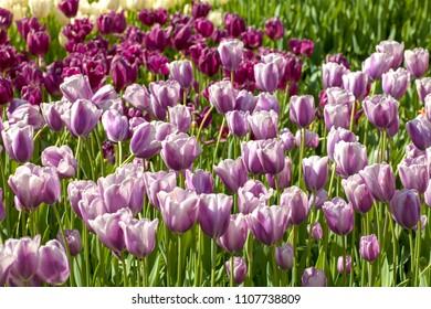 Field with Dutch tulips in sunlight