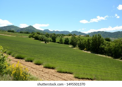 Field of early blooming lavenders. Blooming broom in the foreground. A blue sky, trees and mountains in the background. Provence in France.