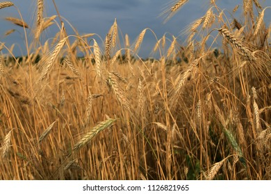 Field with ears of beautiful, mature wheat against the blue sky. It is time to clean the rich large grain crop. Heavy wheat ears bent under the weight of good grains.