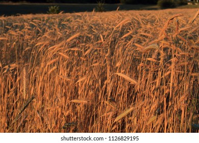Field with ears of beautiful, mature wheat illuminated by the rays of the evening sun. It is time to clean the rich large grain crop. Heavy wheat ears bent under the weight of good grains.