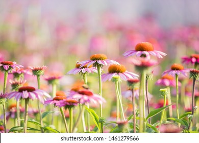 A Field Of Echinacea Flower On A Warm Sunny Day, Selective Focus On One Flower