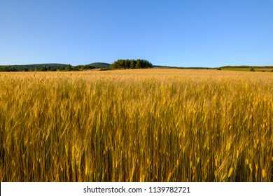 Field of einkorn wheat in the summer. Provence, France.