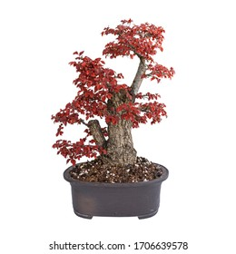 field elm yamadori bonsai in autumn colors, isolated over white background (Ulmus procera)