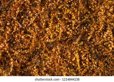 Field of fallen yellow leaves. Autumn carpet. Trees threw off foliage.  Autumn landscape. Honey locust (Gleditsia triacanthos), thorny locust.