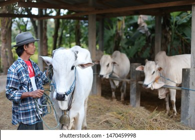 field farm animals with asian man and cow. yogyakata indonesia. august 5, 2019.
