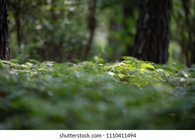 A field of ferns in a forest.