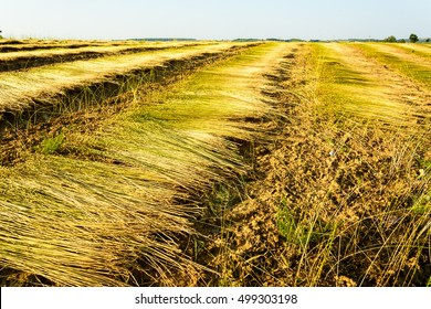Field of flax during harvest