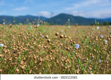 Field of flax flowers. Growing flax in the mountains. Blue flax flowers