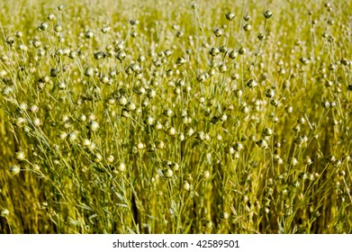 field of flax seeds