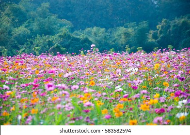 Field. Flower field. Cosmos flower in a field. background.