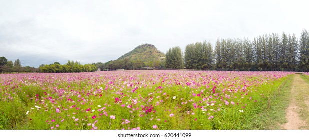 Field. Flower field. panorama of Cosmos flower in a field. background.