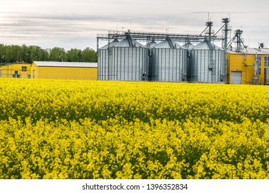 Field of flower of rapeseed, canola colza in Brassica napus on agro-processing plant for processing and silver silos for drying cleaning and storage of agricultural products, flour, cereals and grain