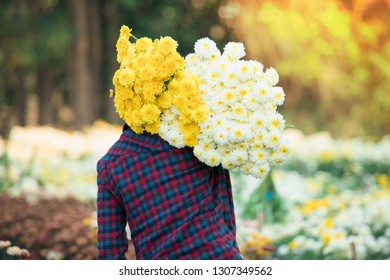 Field of  flower, Workers are collecting colorful flowers on the farm.The workers are collecting chrysanthemum flowers.Beautiful flowers of chrysanthemums,Colorful flowers