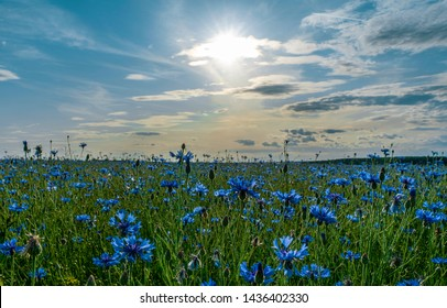 field of flowering cornflowers, blue flowers of cornflowers on the background of the blue sky and the setting evening sun.