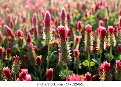 Field of flowering crimson clovers in spring landscape.  Beautiful red color. Trifolium incarnatum, known as crimson clover or Italian cloveris a species of clover.