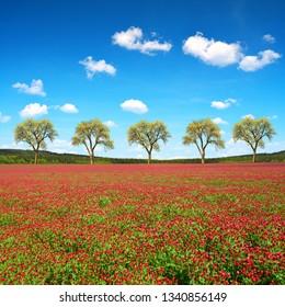 Field of flowering crimson clovers (Trifolium incarnatum) in spring rural landscape.
