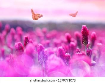 Field of flowering crimson clovers (Trifolium incarnatum) with butterflies  at sunset. Spring season.