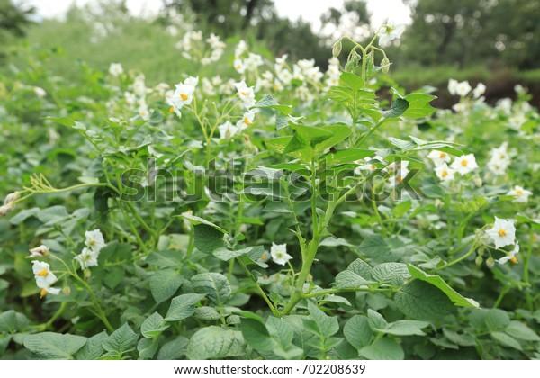 The field of flowering potatoes
