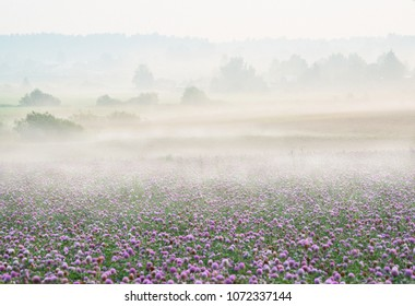 A field of flowering red clover in thick fog at dawn, a simple uncluttered landscape.