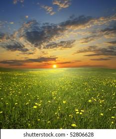 field of flowerings dandelions