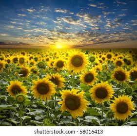 field of flowerings sunflowers on a background beautiful sunset