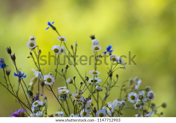 Field flowers chamomile and cornflower. Beautiful flower natural blur background. Nature summer floral plants wallpaper