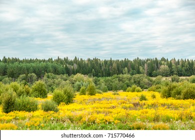 The field of flowers of a goldenrod