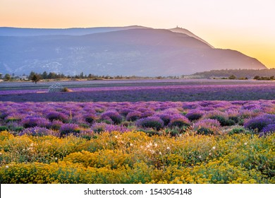 Field of flowers of the Italian strawflower or immortelle (Helichrysum italicum) and lavender  in Provence, France. Mont Ventoux in the background. Sunset.