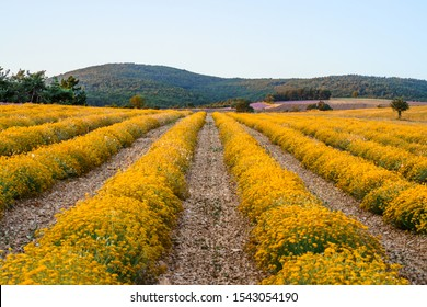 Field of flowers of the Italian strawflower or immortelle (Helichrysum italicum) in Provence, France.