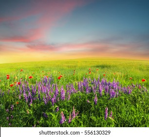Field with flowers in mountain valley. Natural summer landscape during sunset