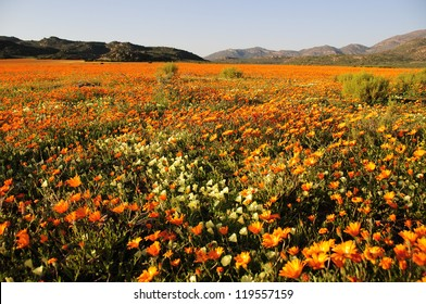 Field of flowers in Namaqualand, South Africa