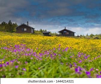 Field of flowers in Norway