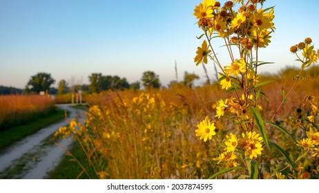 A field of flowers on the bike path at Illinois Beach State Park, Zion, Lake County, Illinois. Land of the Kiikaapoi, Peoria, Bodewadmiakiwen, Myaamia, Waazija, Ochethi Sakowin
