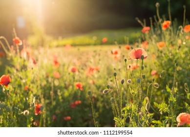 Field flowers, poppies in sunset light