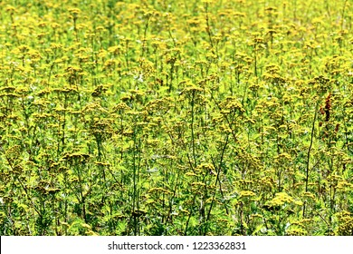 Field with flowers of the Tanacetum vulgare.