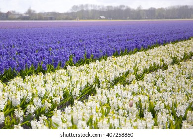 A field of flowers until the horizon, with blurred flowers in the foreground and background. The focus lies on the edge of two colors.