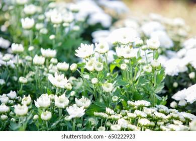 Field of  flowers white.