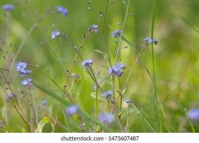 field forget me not (Myosotis arvensis)