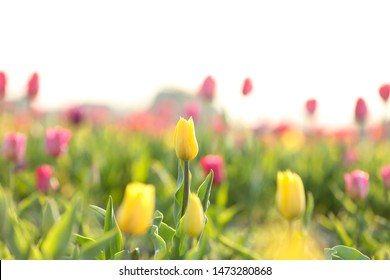 Field with fresh beautiful tulips. Blooming flowers