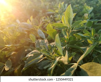 Field of fresh grass growing. Orchard of irrigation. Agricultural area of the Extreme Southwest of Europe. Natural contrast of green colors of plants at sunset under the rays of the sun. Green alfalfa