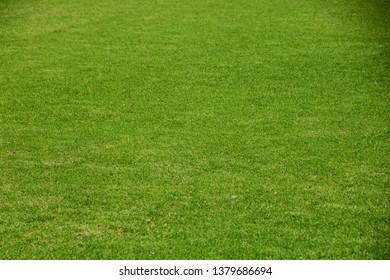 Field of fresh green grass texture as a background