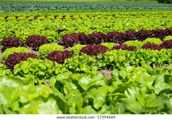 field of fresh and tasty salad/lettuce plantation