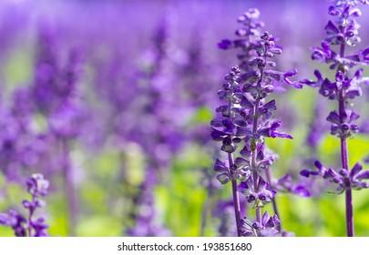 field of fresh violet salvia flowers in the garden