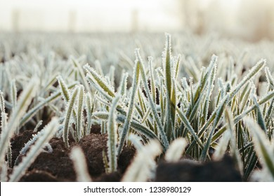 Field of Frozen young winter wheat farm agrarian agricultural concept