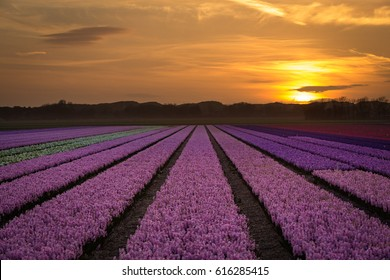 Field full of fresh hyacinth flowers at a beautiful sunset in Holland